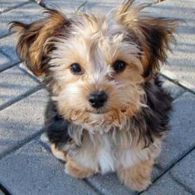 Yorkiepoo(Yorkshire Terrier and Poodle)