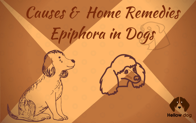 Causes & Home Remedies Epiphora in Dogs