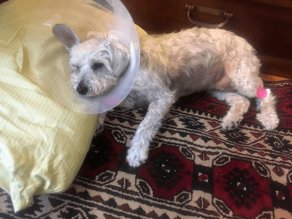 How to Care for a Dog After Surgery