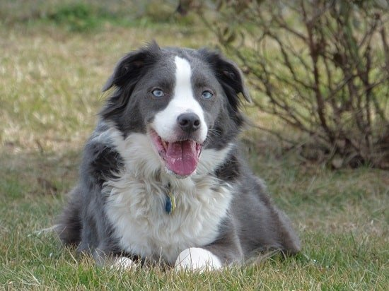Border Collie blue eyes