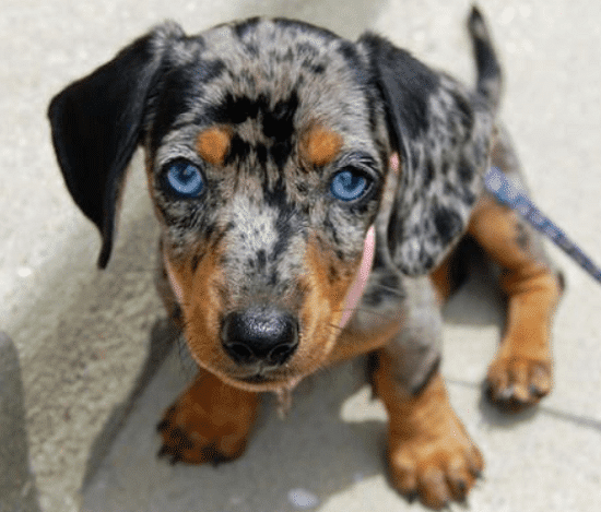 Dachshunds with blue eyes