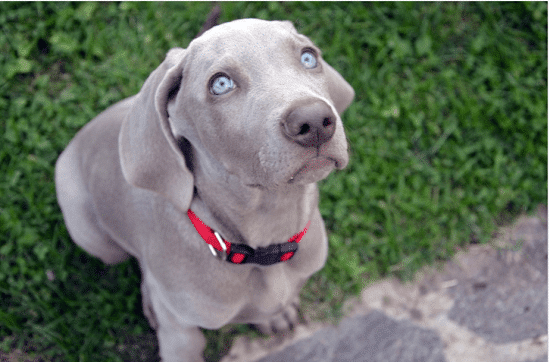 Weimaraner blue eyes dog