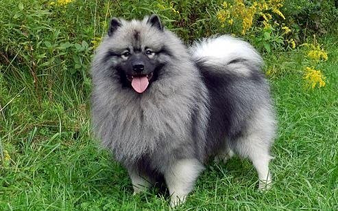 The Crossing of the American Eskimo and Keeshond