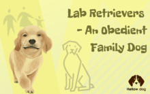 Lab Retrievers – An Obedient Family Dog