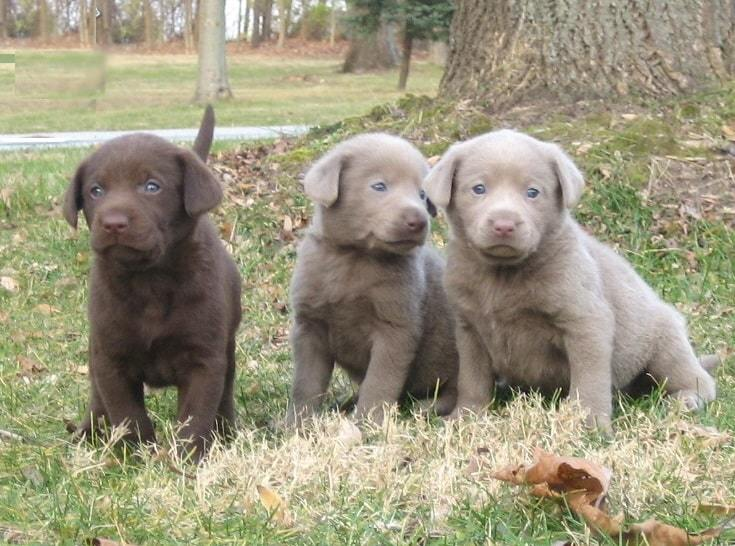 How a Silver Lab's looks like