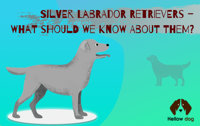 Silver Labrador Retrievers – What Should We Know about Them