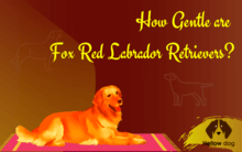How gentle are Fox Red Labrador Retrievers