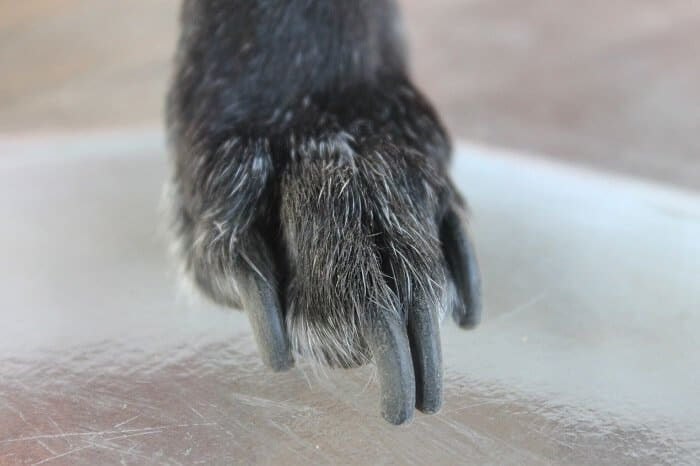 It is time for clipping dog nail