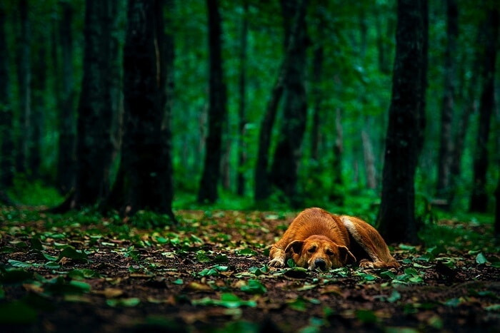 Why does a dog get lost in the forest