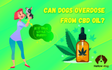 Can Dogs Overdose From CBD Oil