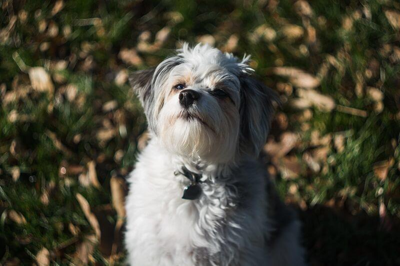 Aussiedoodle Profile- a Designer Dog and Intelligent Family Friend