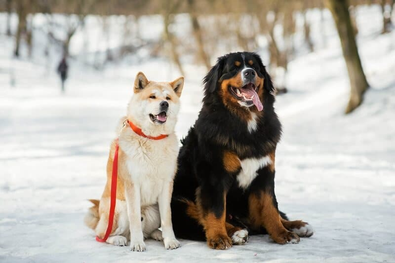 other dogs akita and bernese mountain dog sit on park