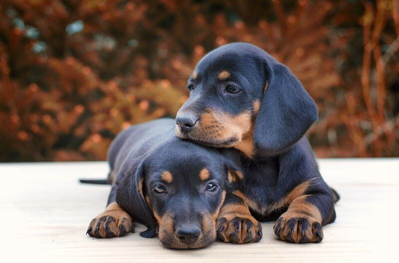 when do male dogs become fertile dachshund-puppies being together