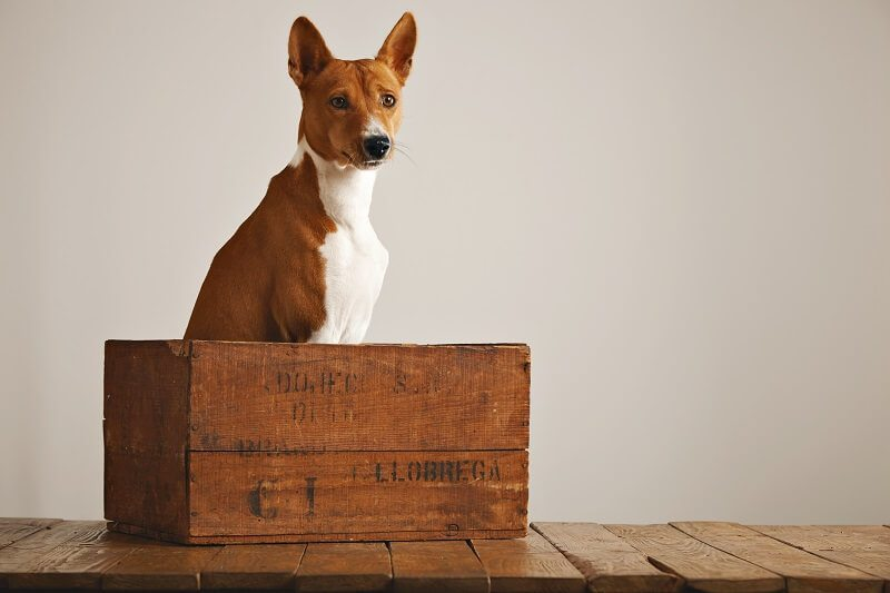 A dog inside the solid construction wood crate