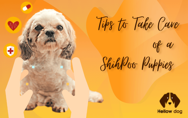 How do you take care of a ShihPoo puppies
